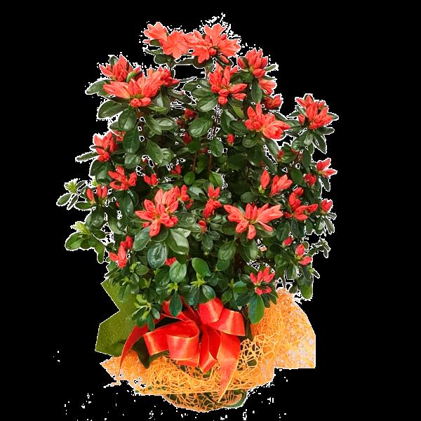 Pianta azalea