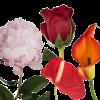 Peonia Anthurium Rosa rossa Calla