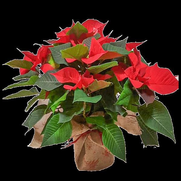 Poinsettia Stella di Natale